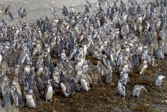 Grande número de pinguins de Magellanic fotografia de stock