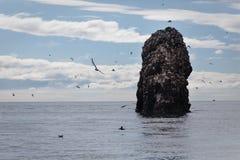 Grande número de vária capoeira ou mosca dos pássaros em torno da rocha Fotografia de Stock