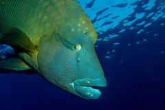 Grande Napoleon Fish Immagini Stock Libere da Diritti