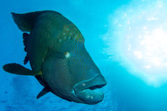 Grande Napoleon Fish Fotografie Stock Libere da Diritti