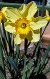Grande narciso amarelo Imagens de Stock
