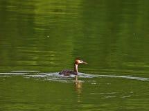 Grande natação do mergulhão com crista em lagos Pacsmag Foto de Stock