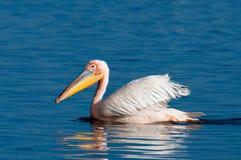 Grande natação do pelicano branco fotografia de stock royalty free