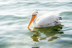 Grande natação do pelicano branco no lago Foto de Stock