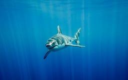 A grande natação do tubarão branco no oceano azul sob o sol irradia Foto de Stock Royalty Free