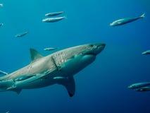 Grande natation étiquetée de requin blanc contre la marée Image stock