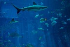 Grande natation de requin parmi des poissons dans l'aquarium Photos stock