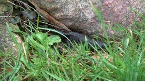 Grande newt com crista que rasteja na mola filme
