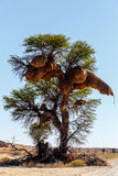 Grande nido del tessitore mascherato Africano sull'albero Fotografie Stock Libere da Diritti