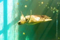 Grande nuoto della tartaruga di mare immagine stock