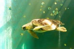Grande nuoto della tartaruga di mare fotografia stock