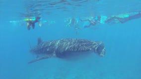 Grande nuoto dello squalo balena in acqua bassa archivi video