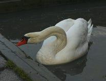 Grande nuoto nordico bianco del cigno nel lago immagine stock