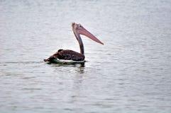 Grande nuoto punto-fatturato del pellicano ad uno stagno locale Fotografia Stock Libera da Diritti