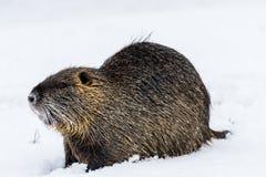 Grande nutria curioso del coypu sulla neve vicino al fiume immagine stock libera da diritti