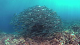 Grande-olho Trevallies em um recife de corais 4k vídeos de arquivo