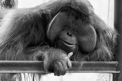 Grande orangutan di papà che prende un pelo di giorno mentre mangiando carota immagini stock libere da diritti
