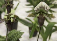 Grande orchidea del cappello Immagine Stock