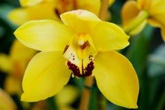 Grande orchidea gialla Fotografia Stock