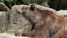 Grande orso bruno pigro archivi video