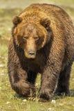 Grande orso dell'orso grigio Fotografie Stock