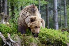 Grande orso di Brown nella foresta Immagini Stock