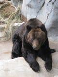 Grande orso di orso grigio Fotografia Stock