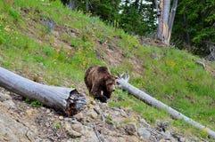 Grande orso grigio di Brown Fotografia Stock Libera da Diritti