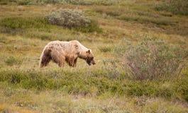 Grande orso grigio selvaggio che foraggia la fauna selvatica dell'Alaska del parco nazionale di Denali Fotografia Stock