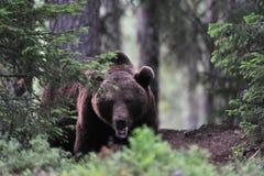 Grande orso marrone in una foresta Fotografia Stock