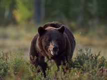 Grande orso maschio Fotografia Stock