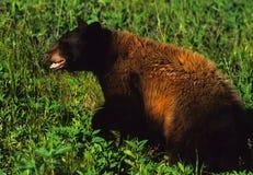 Grande orso nero Immagine Stock Libera da Diritti