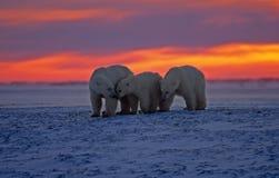 Grande orso polare maschio Fotografie Stock Libere da Diritti