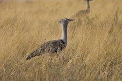 Grande outarde, kori d'Ardeotis, en parc national d'Etosha, la Namibie Photo libre de droits