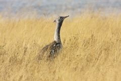 Grande outarde, kori d'Ardeotis, en parc national de Bwabwata, la Namibie Image libre de droits