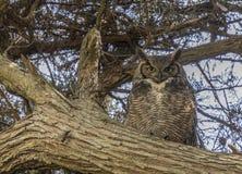 Grande Owl Adult Female Camouflaged Horned litoral fotografia de stock