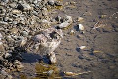 Grande Owl Bathing cornuto immagini stock
