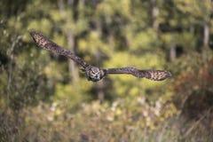 Grande Owl Canadian Raptor Conservancy Horned foto de stock