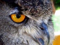 Grande Owl Face Horned imagens de stock royalty free