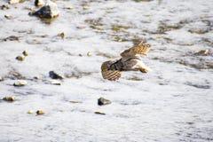 Grande Owl Flight Across cornuto l'acqua fotografia stock libera da diritti
