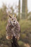 Grande Owl Head On Horned Foto de Stock Royalty Free