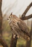 Grande Owl Side Profile cornuto Fotografia Stock Libera da Diritti