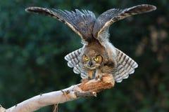grande owlet cornuto Fotografia Stock