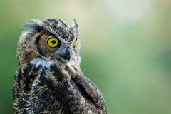 grande owlet cornuto Fotografia Stock Libera da Diritti