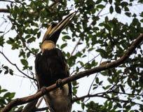 Grande pássaro da conta do chifre Foto de Stock