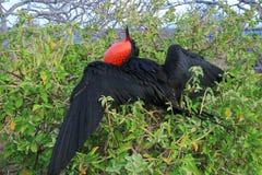 Grande pássaro de fragata durante seu ritual de acoplamento Imagem de Stock