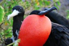 Grande pássaro de fragata durante seu ritual de acoplamento Imagens de Stock