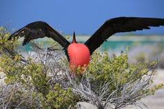 Grande pássaro de fragata masculino durante o ritual de acoplamento da dança Foto de Stock Royalty Free
