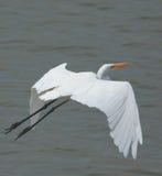 Grande pássaro do Egret fotografia de stock