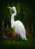 Grande pássaro do Egret (garça-real branca) Fotografia de Stock Royalty Free